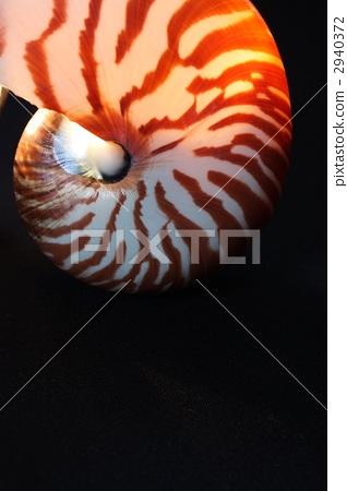 鹦鹉螺 软体动物 外壳