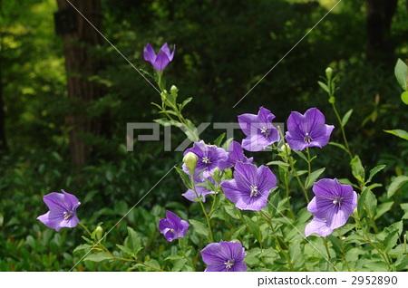 花朵 花 中国风铃草