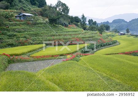 图库照片: 水稻 农村场景 乡村风光