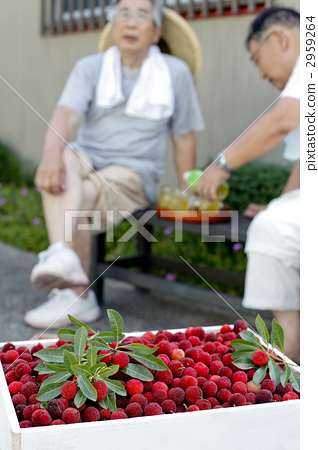 日本月桂树的果实 老年人 年长
