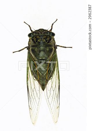 照片素材(图片): 飞蛾 蝗虫 蝉