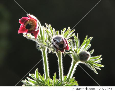 白头翁 植物人 花朵