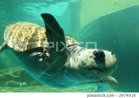 照片素材(图片): 红海龟 海龟 海洋动物