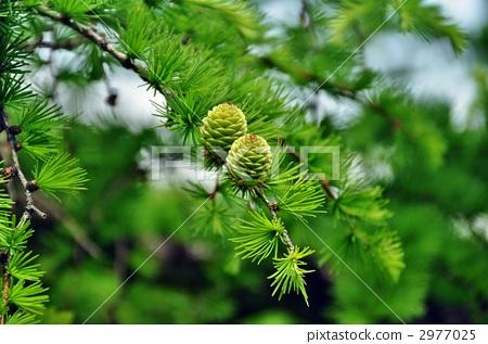 落叶松 针叶树 植物人