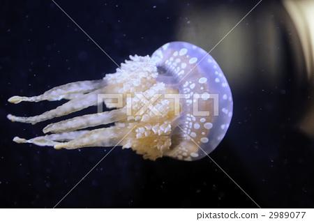 珍珠水母 水母 一只小动物