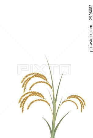 植物_花 观叶植物 稻穗 水稻 画报  pixta限定素材      稻穗 水稻