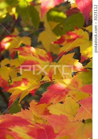 枫树 枫叶 秋天颜色