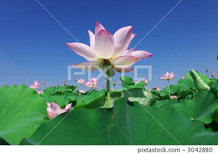 照片素材(图片): 莲花 风景 花瓣