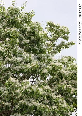 花朵 中国流苏树 雪花树