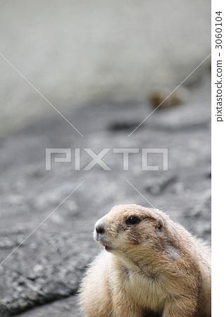 图库照片: 北美的草原土拨鼠 其他哺乳动物 啮齿目