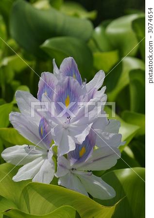 图库照片: 巴西制造 淡紫色 浮叶植物
