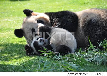 熊猫 动物 一只动物