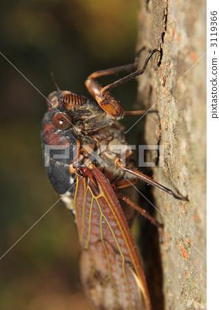 照片素材(图片): 棕色大蝉 蝉 蝗虫