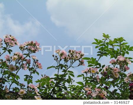 照片素材(图片): 藤本月季 芭蕾舞女 玫瑰