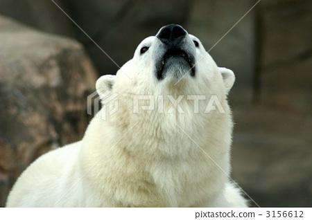 图库照片: 熊 北极熊 王子动物园