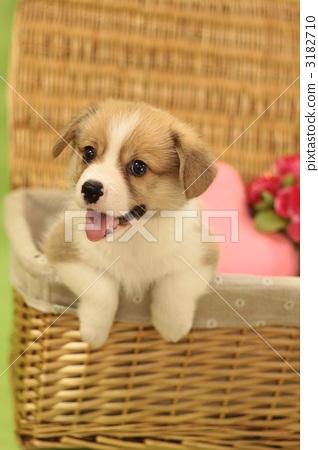 图库照片: 小狗 威尔士矮脚狗 动物
