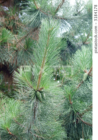 松树 南欧黑松 绿色种子