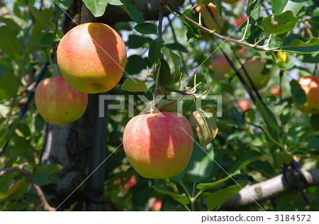 苹果 苹果树上 秋季的水果