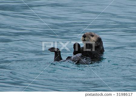 海獭 海洋动物 野生生物