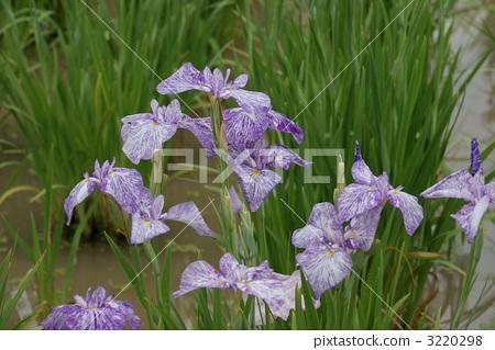 紫罗兰 单子叶植物 扎染布