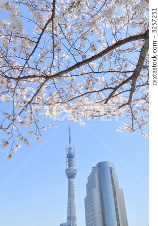 东京晴空塔 吉野樱花树
