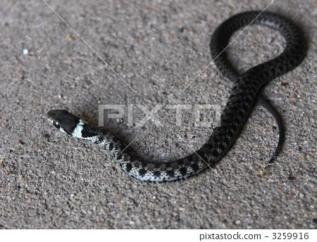 图库照片: 爬行动物 爬虫类的 大毒蛇