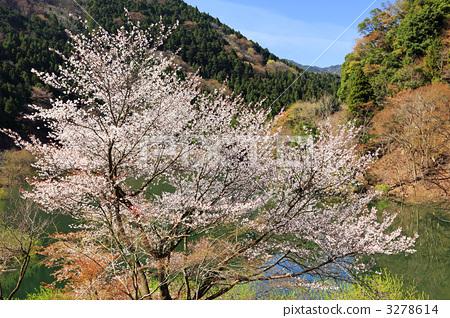 樱花 野樱桃花 樱桃树
