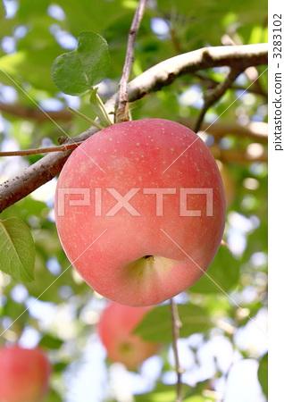 苹果树上 苹果 东海地方