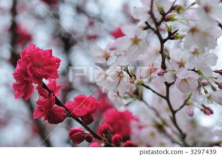 桃花 正在开花的桃树 春