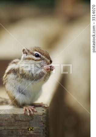 图库照片: 花鼠 啮齿类的 松鼠