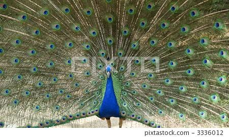 孔雀 求偶行为 动物园