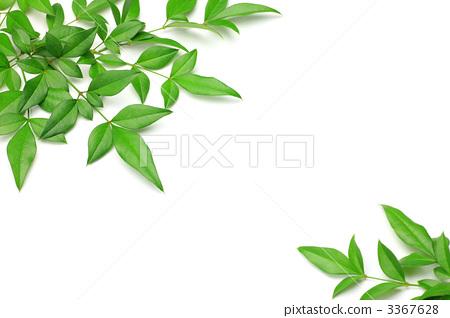 白色背景 绿色 树叶