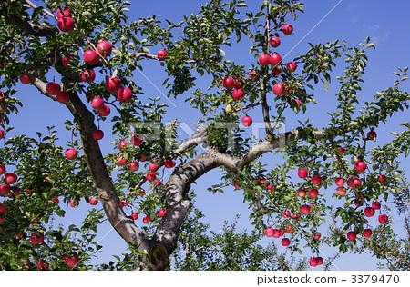 用彩纸做苹果树图片步骤