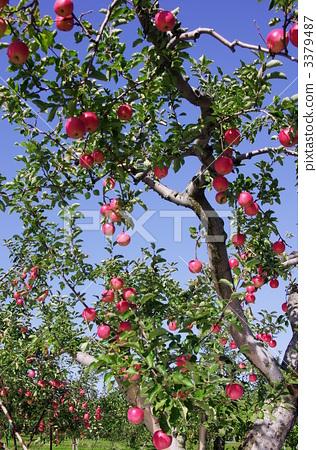 苹果树上 苹果树 苹果园