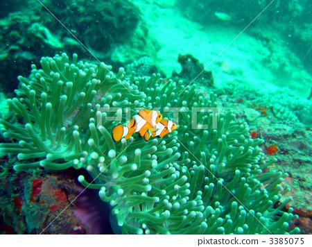 小丑鱼 海洋动物 塞班岛
