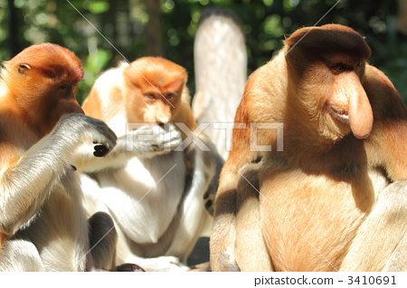 照片: 长鼻猴 猴子 一只动物