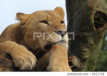 陆生动物 野生动物 狮子