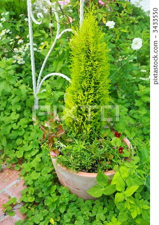 针叶树 植物学 植物的