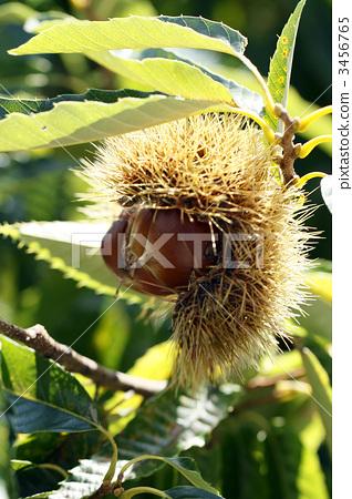 照片素材(图片): 栗子 秋之美食 日本栗