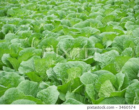 蔬菜_食品 叶_叶菜类 大白菜 照片 大白菜田 首页 照片 蔬菜_食品 叶图片