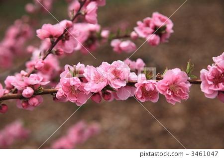 桃花 正在开花的桃树 桃子