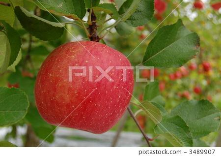 北斗 苹果树上 水果