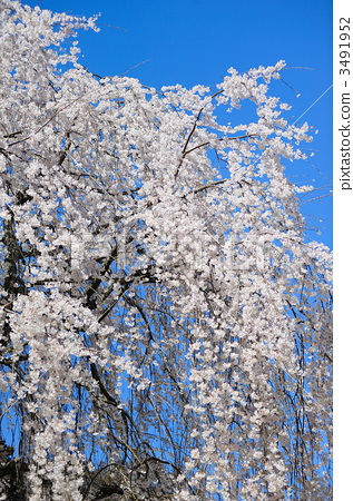 照片素材(图片): 垂枝樱花 枝垂樱 授粉