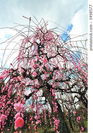 树枝低垂的李树 日本梅子