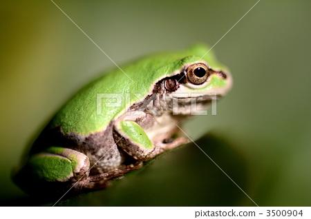 爬行动物_昆虫_恐龙 青蛙 照片 青蛙 树蛙 绿色 首页 照片 爬行动物