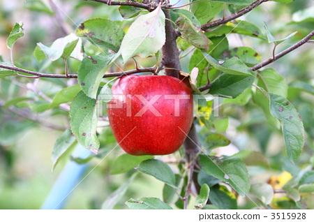 苹果树上 苹果 红色