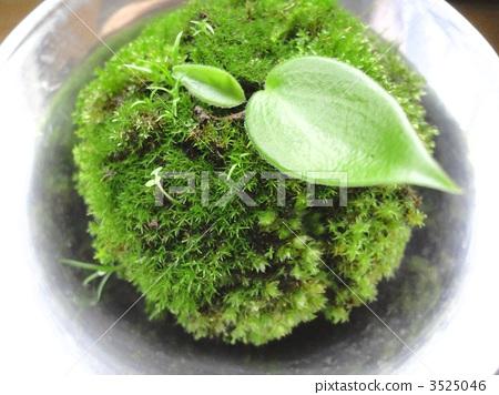 首页 照片 植物_花 其它植物 苔藓 苔藓 樟脑球 植物  pixta限定素材