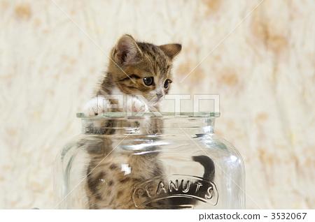 动物_鸟儿 猫 小猫 照片 苏格兰折耳猫 小猫 小动物 首页 照片 动物