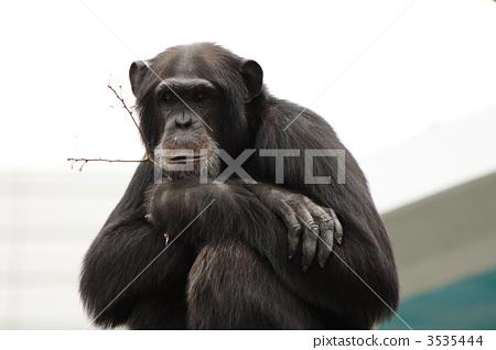 黑猩猩 猴子 陆生动物