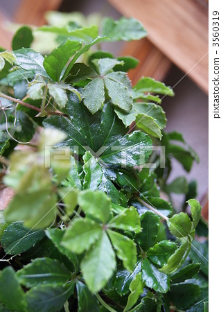 图库照片: 糖藤 室内盆栽 观叶植物